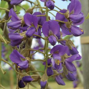 Bolesanthus Speciousus (50L)